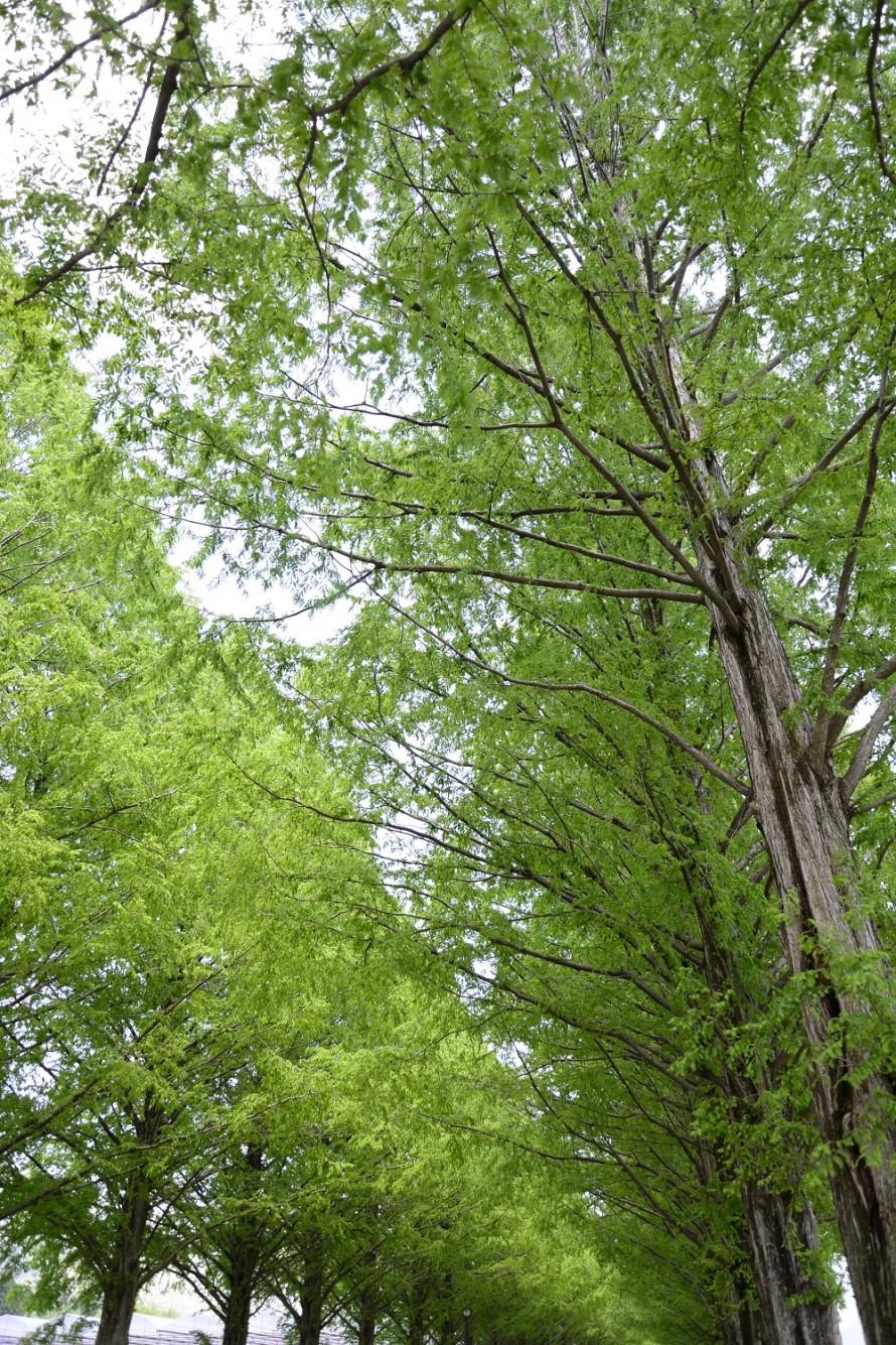 見上げるほどの高木落葉樹メタセコイヤ