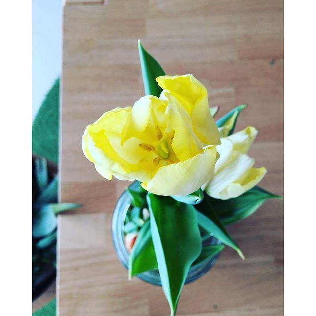 #チューリップ#Tulip #球根テラリウム #春の花先日に続いて、チューリップ2つ目も咲きました☆水耕栽培で育てて気がつきました。チューリップってこんな香りがするのだということ。サフランみたいな香りがします。同じ早春の球根植物だからでしょうか。お部屋のなかで、じっくり育ててきたから、間近にいろんな発見がみられて楽しい、球根テラリウムでした。#光葉園 #メデルガーデン