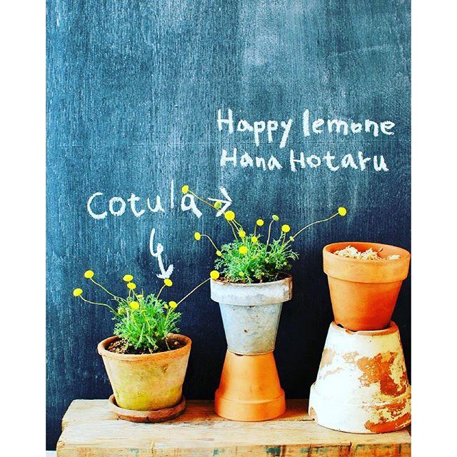 おすすめ♡春に楽しむ鉢植えのお花です。#コツラ と申します。#ハッピーレモン とか#ハナホタル とか呼ばれています。小さな黄色い花の球がとてもキュートで繊細です。#メデルガーデン #春の花 #春のガーデニング#鉢植えの花