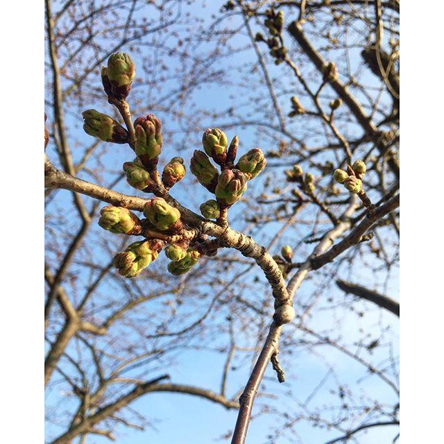 今日はまた寒の戻りで寒い一日でしたね。寒い北風はもう飽きました。ぽかぽかな春よ、早く恋い♡昨日、夕方に愛犬と散歩。散歩道中、山の神の桜の蕾を見る。ほのかにピンク色がちらり♡春ですね、春が来てますよ。#桜の蕾#東近江市#春の気配#メデルガーデン#光葉園#滋賀県東近江市桜の開花情報