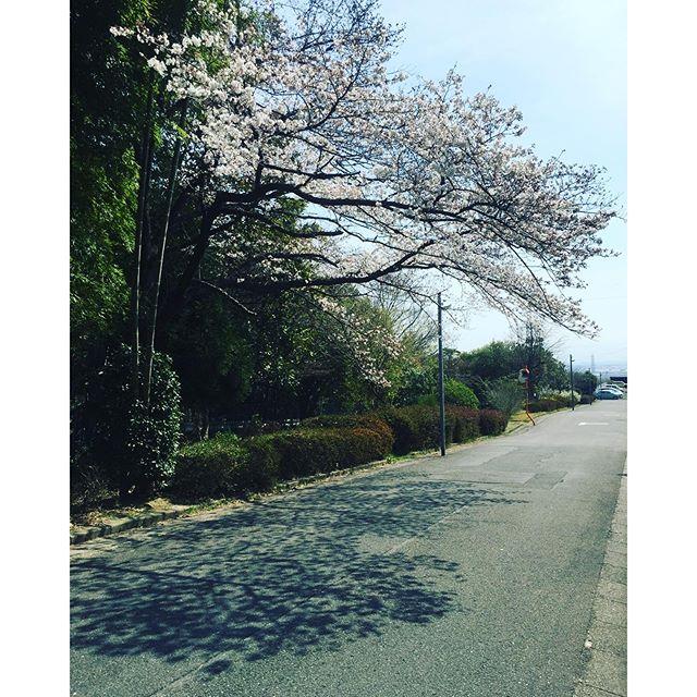 #桜今朝の風景、マイホームタウンの桜の木です。いつもここの桜だけはどこよりも早くてもう八分咲き。バックミュージックにはウグイスの声。春やわ〜#天王山の近くの桜#春のはじまり