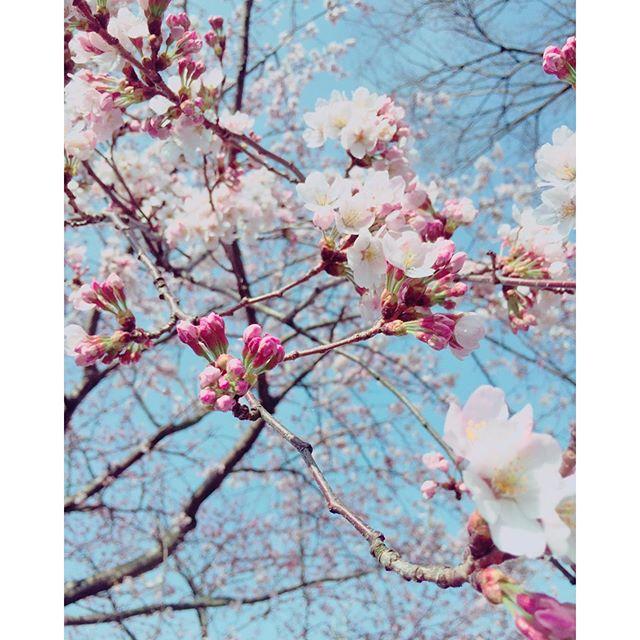 #桜の木の下 愛犬のくぬぎちゃんとのお散歩コースにある、山の神さんのサクラの木サクラの季節がやってきましたね#桜 #メデルガーデン