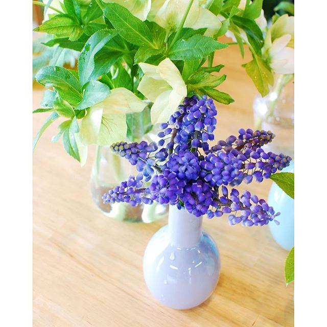 ムスカリが満開に咲いてくれて嬉しい。もうぎりぎり花も終わるなぁって子たちを贅沢にも、バッサリとちょん切って花瓶にざっくり生けました。#ムスカリ#メデルガーデン
