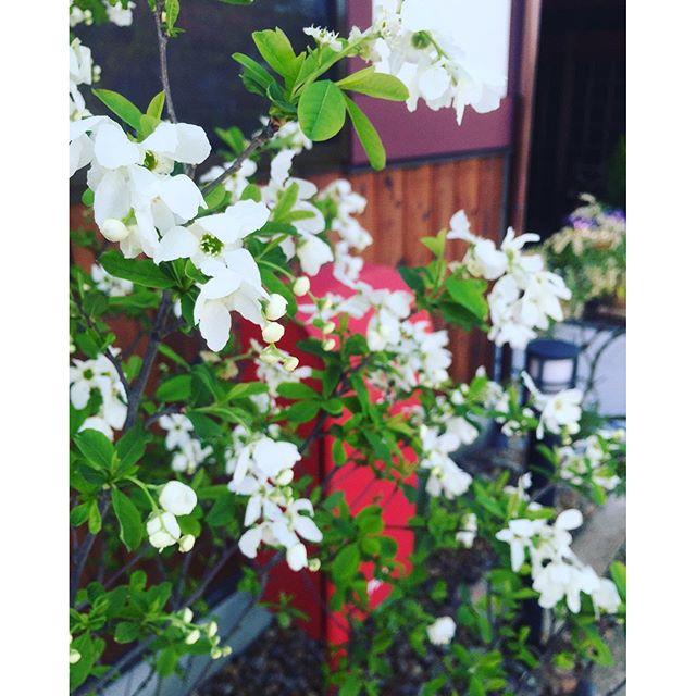 花が咲き新芽が美しい季節。たまらなくワクワク、うきうきしてしまう季節です。この花は#リキュウバイ#利休梅バラ科の落葉低木樹です。#庭づくり#光葉園 #メデルガーデン