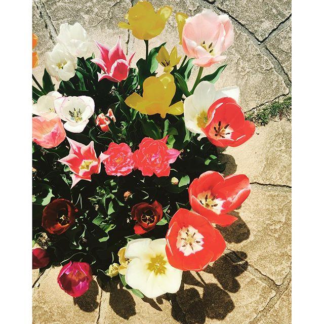 #チューリップ#春ですね色々な色のチューリップ満開。冬に庭づくりをさせてもらったお宅へ写真撮影に行きました。#庭づくり#メデルガーデン #光葉園