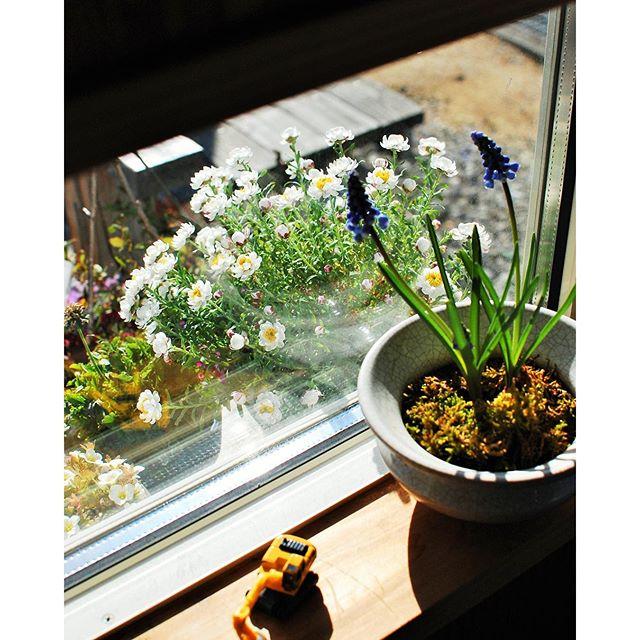 #春の窓辺でも、今日も寒い寒い北風が吹きましたね。春の突風に揺さぶられる#花かんざしをお店の小窓から見つめる。。。#ぽかぽかな春が待ちどおしいですね。#光葉園 #メデルガーデン