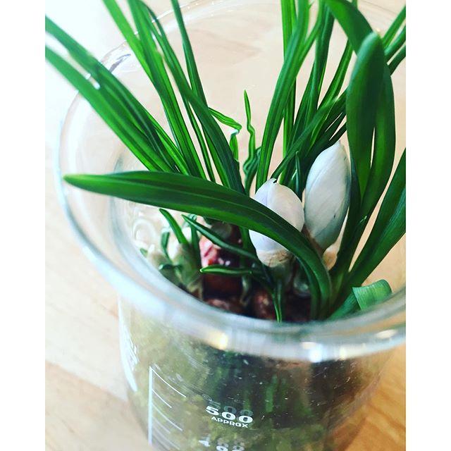 キタキタ。#クロッカスの蕾が出てきました。#クロッカス#Crocus#球根テラリウム #春の花 #メデルガーデン #光葉園