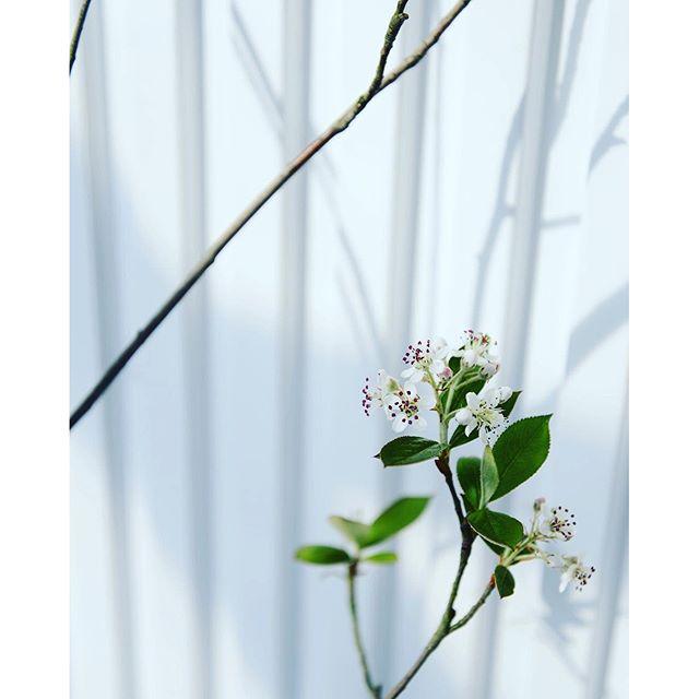 #アロニアの花4月20日水曜日。アロニアの花が咲きました。可愛い♡やはり、これは#おすすめの庭木  です。鉢植えで、#メデルガーデン の入り口ドア横におります。