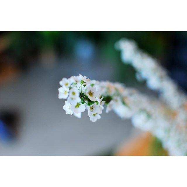 #好きな人の香りユキヤナギの香りが大好きな人の香りに似ていて、嬉しくなりました。あのひとの柔軟剤にはユキヤナギの香りが入ってるんだな。#春の花 #ユキヤナギ