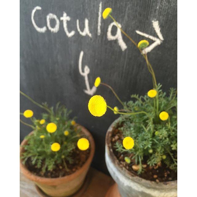 コチラが#コツラ です(-_^) まるで、花びらが散った後のような黄色いお花が愛らしくてステキ。春風に揺さぶられて、まるで、春のホタルみたいですね。#Cotula#HappyLemon#HanaHotaru#春の鉢植え#春の草花