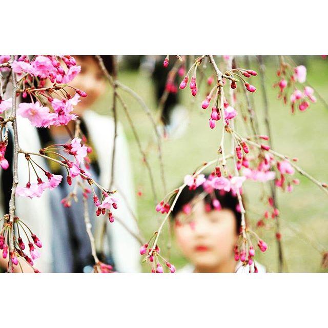 #しだれ桜の蕾雨のち曇のち日曜日。近くへお花見、桜を愛でてきました。#桜の季節#彦根城のしだれ桜#メデルガーデン