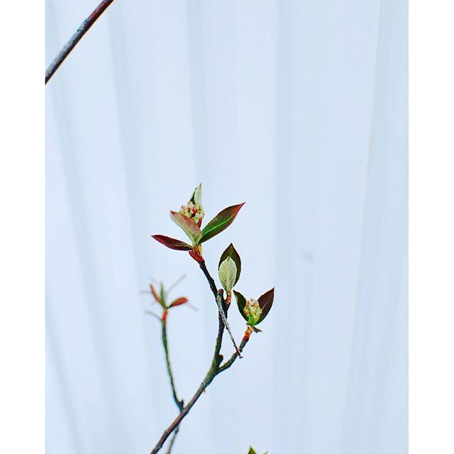 #おすすめの庭木アロニアの新芽と蕾。耐寒性耐暑性共に強く育てやすいのが滋賀の環境にもぴったり。水好きなので、土の湿り具合は小まめにチェック。そして、日当たりを好みます。#アロニア#メデルガーデン