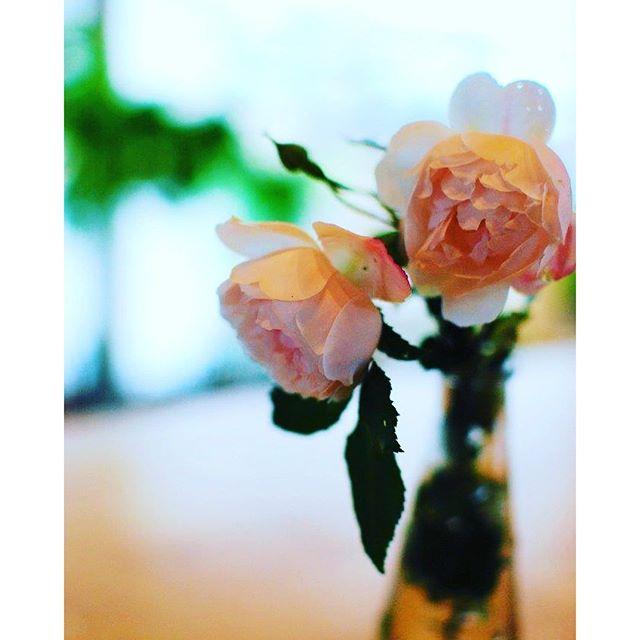 #雨の日には花を飾ろう#メデルガーデン の花壇から、今年の初もののバラは、父からもらった苗を育てたもの。父の畑の近くにはバラ園があり、ハウス栽培でバラを出荷されていました。しかし、バラ園は閉鎖されて、耕された畑にはまた芽吹きそうなバラの苗達がたくさんあったそうです。それをわけて頂けないかどうか、その土地の方に話し、バラ苗をゆずってもらったのがこのバラなのでした。バラを育て始めている私の話を聞いて、「あっ 」と思ってくれたのでしょうね。私に送ってくれたのでした。だから、バラの名前も、どんな色のバラが咲くのかもわからないまま2年目が経ち、今年初開花。淡いピンク色でした。#バラ#自分で育てたバラは世界一愛おしい#たまにはバラの花束もらいたいなぁ#春の庭から彩りを #光葉園 #メデルガーデン