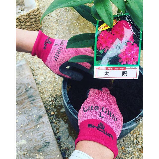 #シャクナゲの季節昨日は西洋シャクナゲを鉢植えにしました。太陽 という品種は比較的暑さに強い品種です。鹿沼土:ピートモス:パーライト:バーミキュライトを6:2:1:1で配合。マルチングは腐葉土です。#草木の生育には土壌が肝心です。#鉢植え#西洋シャクナゲ#メデルガーデン #光葉園