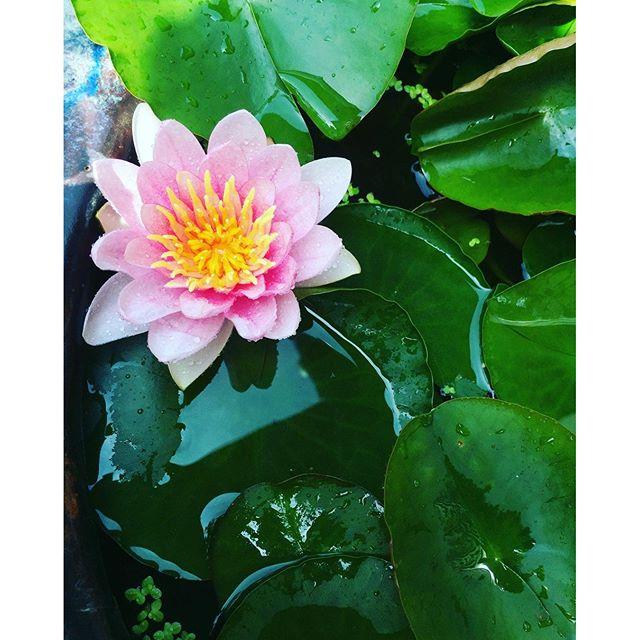 #睡蓮玄関先の小さなビオトープ。息子の名前は蓮太朗。記念樹でわないけど、記念花としてばあばが睡蓮を育ててくれています。ちゃんと、毎年この季節。ちょうど5月生まれの息子のために、花が開花します。#睡蓮鉢#小さなビオトープ#メダカもいます。