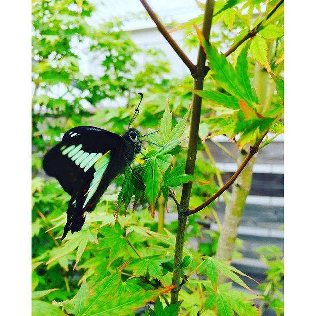 #朝の風景 今朝水やりをしに行くと青い蝶々に出会いました。モミジの葉っぱにひたすらとまり続けていました。近くまでいってもびくともしません。産卵中だった?おかげで、蝶々の横顔が撮れました。#メデルガーデン #光葉園 #蝶々#モミジの新緑