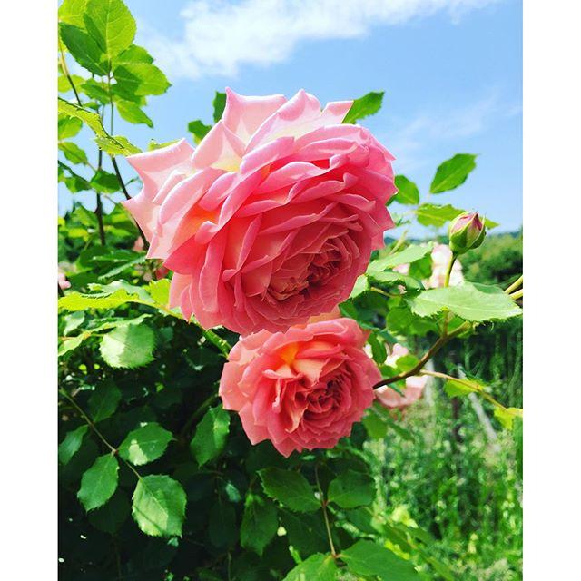 #雨のち晴れ昨日は#米原 にある#ローザンベリー多和田へゆきました。5月らしい爽やかな気候のなか、たっぷりバラを愛でてきました。色とりどりの愛おしいバラの花、香りもたまりませんでしたよー。ローザンベリー多和田は今まさに花盛り♡♡♡ #メデルガーデン 郊外学習#光葉園