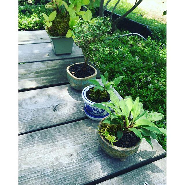 #姫沈丁花の盆栽#乙女ギボウシ #ミニ盆栽草昨日作ったミニ盆栽。今日も楽しーたのしーミニ盆栽づくりです。#光葉園 #メデルガーデン