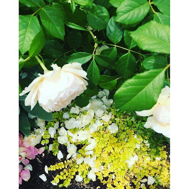 #バラを引き立てる草花バラの花もさながら、それを引き立てる下草、#グランドカバープランツ 達も美しさ負けていませんでした。どこを切り取っても素敵なステキな風景ばかり。#ローザンベリー多和田 #rose #Lysimachia_nummularia#メデルガーデン 郊外学習