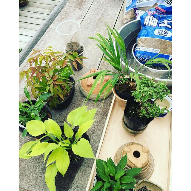 #ミニ盆栽はじめもした。今日は夏らしい日差しですね。暑さは苦手ですが太陽が降り注ぐ季節はパワーがみなぎってきます。昨日はミニ盆栽を作りました。#ギボウシ や#姫沈丁花 など小さな草ものを可愛らしい小さな和の器へ植えつけました。中々の細かい手仕事、黙々とこなす作業は得意な方でわありませんが、植物相手なら楽しくてたまりません。#メデルガーデン #光葉園#ミニ盆栽草もの