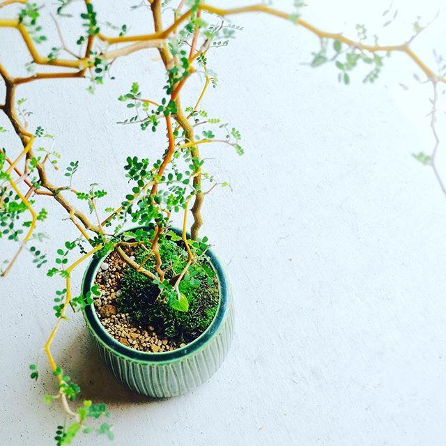 #ソフォラミクロフィラ ソフォラミクロフィラルトルベイビー。舌を噛んでしまいそうだし、中々名前覚えられないけれど、大好きです。マメ科らしい丸い葉と、クネクネ、カクカク曲がった枝が魅力的。冬場に葉を落とし元気なかったのは、ただ落葉していただけで、今、ほら、こんなに元気にしています。新芽がたくさん出てきたし。植え替をして、苔を添えて、素敵をプラス+++いたしました。#光葉園 #メデルガーデン #観葉植物#植え替え