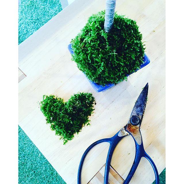 #コンシンネの盆栽去年作ったコンシンネの盆栽苔がモフモフしてきたので、愛おしいけれど散髪しました。暑い夏に苔が蒸れないように、苔も散髪してあげるとまた、元気にモフモフしてくれることでしょう。#moss #ハイゴケ#ミニ盆栽の苔#ミニ盆栽のお手入れ#メデルガーデン #光葉園