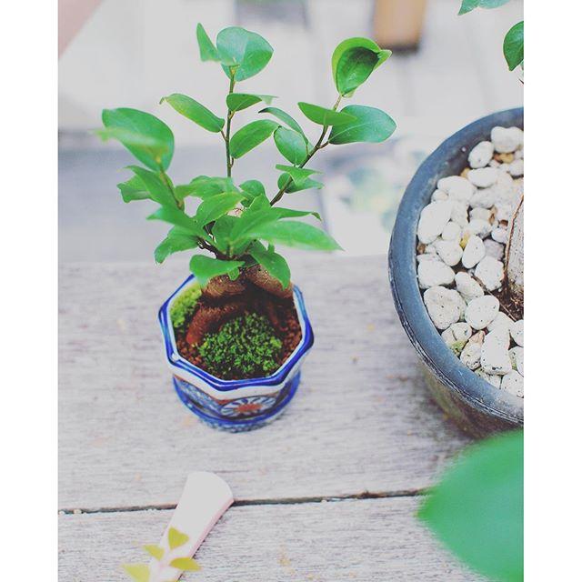 #ガジュマル#ガジュマルのミニ盆栽#メデルガーデンワークショップ 精霊が宿ると言われるガジュマル。手軽に育てられるので、ミニ盆栽初心者の方にオススメです。#みどりを楽しむわくわくワークショップ #光葉園