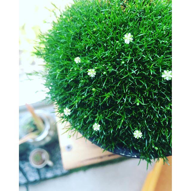 #サギナ#アイリッシュモス#モフリッチ花が咲きました。サギナとかモフリッチとかアイリッシュモスとか言われるあのフワフワのみどりの可愛い子。いつもこの時期こらいから蒸れてしまって枯らしてしまう、サギナ。日本の気候には適さないのでしょうね。これからの季節は涼しく風通しの良い場所で育ててあげましょ。室内が無難かな。今年は枯らさないわよ。#光葉園 #メデルガーデン