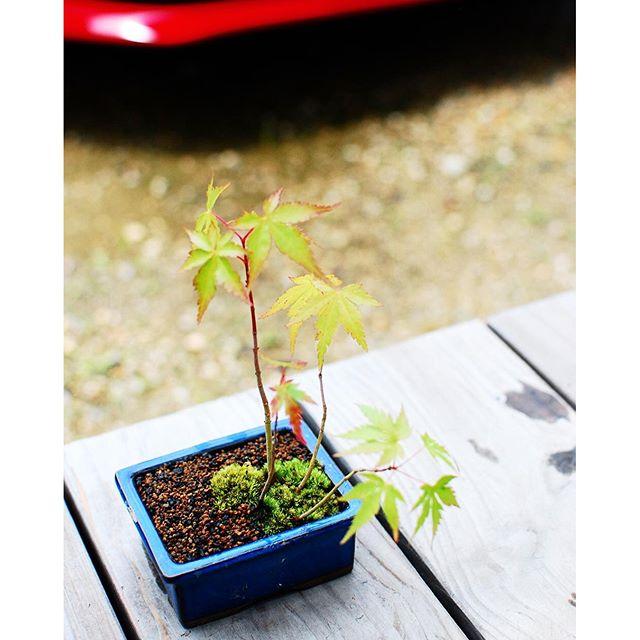 #モミジのミニ盆栽#苔を楽しむ#メデルガーデンワークショップ 小さな盆栽を作るワークショップをいたしました。お花を習われているお客様の作品。いつものくせで、間 を意識してしまうんだそうです。日本人にしかない素敵な感性。間をつくること。昔は間をつくるとは神聖な空間をつくることだともされてきたそうです。いつも、素敵なことを教わるのは私の方だったりします。生け花習いたいです。#光葉園 #みどりを楽しむわくわくワークショップ #メデルガーデン