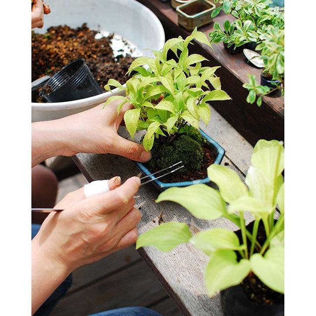 #メデルガーデンワークショップ #光葉園 昨日は楽しくミニ盆栽を作りましたよ。小さな器に小さな木を植える。苔もカットして整えながら貼っていく。細かな作業に集中すれば、植物の世界にトリップ!これが癒しになるのですね。参加してくださった皆さんは、初めての作業にも戸惑わずコツコツ作業を進めてくださいました。植物と戯れる時間はなんて贅沢な時間なのでしょうか。そんな風に日々感じております。#ミニ盆栽 #みどりを楽しむわくわくワークショップ #アジサイの盆栽
