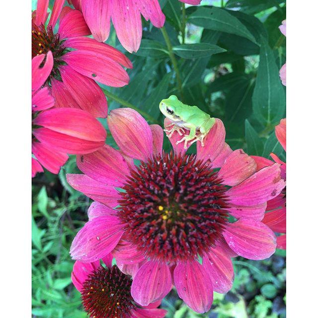 #旬の花 #夏の花#エキナセア#ムラサキバレンギク#アマガエル 小雨が嬉しい。水やりを心配しなくてもよいから、こんな日はホッとします。小さなアマガエル達が庭や植木鉢にあちこちに。エキナセア×アマガエル#光葉園 #メデルガーデン