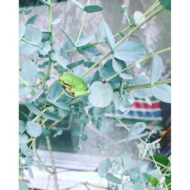 #アマガエル #ユーカリ#ユーカリアーチェリー先日ユーカリアーチェリーというのが#メデルガーデン にやってきました。コンクリートの四角い鉢に植えて窓辺で楽しんでいます。ところで、ユーカリは品種が100種類以上あり、育て方も様々。色々あるけれど、なんといってもこの白みがかったシルバーリーフが魅力ですよね。大きく生長するものが多いので、鉢に植えて楽しむのがよいかと思ってます。このユーカリアーチェリーは耐寒性が中くらいなので、冬場は室内に取り込めるようとも考えています。ユーカリアーチェリー×アマガエル#光葉園 #メデルガーデン