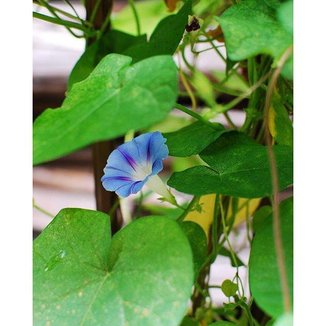#夏の朝の風景朝おきて台所に立つと見えてくる、窓からの景色はアサガオの花。これはマルバアサガオと言いまして、葉が丸く、花は通常のアサガオより少し小さめ。色はブルーや淡いパープル、水色と爽やかなアサガオブルーを楽しませてくれます。旺盛なのも魅力のひとつ。去年プランターに溢れた種から芽を出しました。#緑のカーテンにもぴったりな#マルバアサガオ です。#メデルガーデン #光葉園 #庭の花#夏の花は朝顔#熱帯アメリカ原産のアサガオ