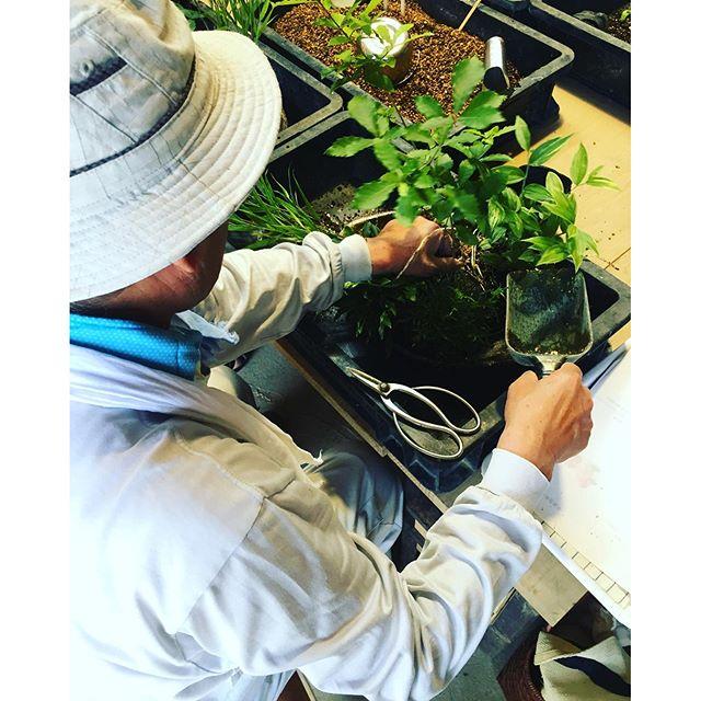 #寄せ植え教室 先生に手ほどき頂いて、コナラと山野草の寄せ植え楽しんできました。#ラコリーナ寄せ植え教室#メデルガーデン