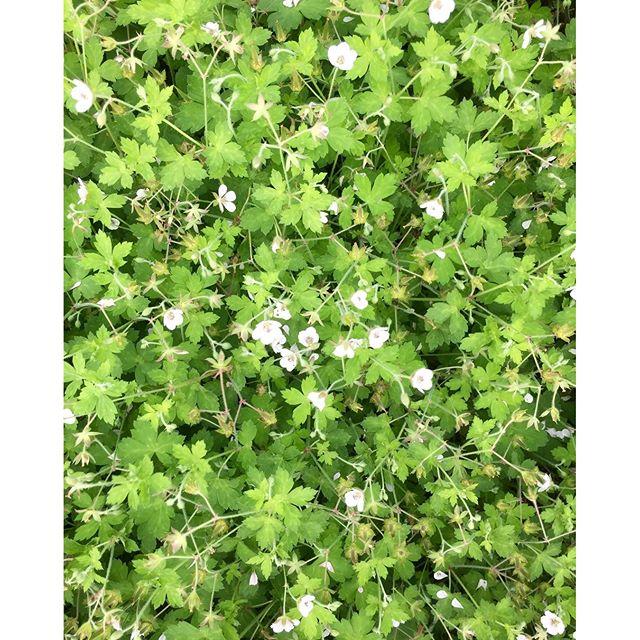 よく雨が降る秋です。雨にしっとりと濡らされて雑草たちもキラキラ美しい季節だと感じています。雑草たちがわさわさと茂る道端で可愛いい小花と緑のじゅうたんがあって思わずパチリ️しました。きっとこれはたぶん、ヘビイチゴかな?#雑草たちが美しい季節秋#メデルガーデン #やっぱり花が好き #光葉園 #素敵なこと
