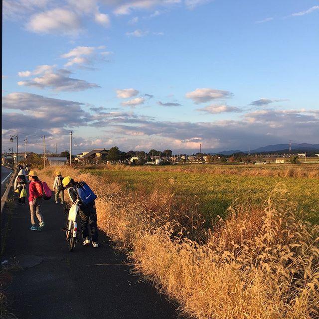 #夕日#黄金色の夕暮れ帰り道も黄金色。#ネコジャラシ#エノコログサが黄金色。きらきらの夕暮れもまた、いとをかし、なのでした。#帰り道#季節を感じる#秋の風景#滋賀の夕暮れ