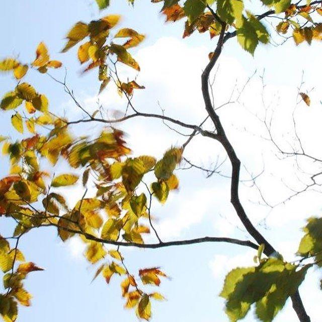 #風が強い日今日は小春日和の文化の日。でも風が強い突然の雨️だったりと、#女心と秋の空 とはよく言ったもんですね。店舗のウッドデッキのすぐそばには#クヌギと#コナラ を植えています。この季節は紅葉で葉がキラキラと光りに反射する姿もさながら、風が吹くとカサカサと葉が音を立てるのも情緒があって、しみじみ致します。窓辺に木があることとは。。。季節の移ろいはもちろんのこと、野鳥を間近に楽しめたり、風の強さ、雨の音。お部屋の中の窓辺には木の影が揺れて綺麗だったり。ひとつの木の存在でこんなにも素敵が沢山あるんですね。と実感する毎日です。#木がある暮らし#メデルガーデン #光葉園 #どんぐりの木