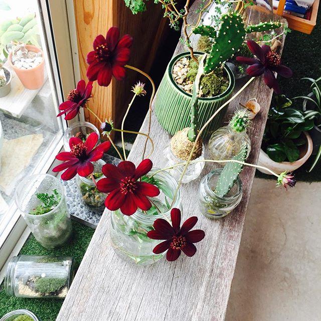 #チョコレートコスモス#今日の花事務所の裏にシラカシを列植した花壇の下が、もうわしゃわしゃとなってきて、#花壇の手入れしなくては。になっております。気になる毎日まだ肌寒い間に春の球根の仕込みとか、宿根草の整理だとか。チョコレートコスモスが自由奔放に咲いていて、格好はよろしくないのだけど、花の表情を見ると、なんとも大人らしい美人顔でした。幾つか摘み取って瓶に入れてあげると、これまた自由奔放に。それがこの子の魅力かな。大人顔だけどこのカジュアルさ。#秋の花#メデルガーデン#光葉園