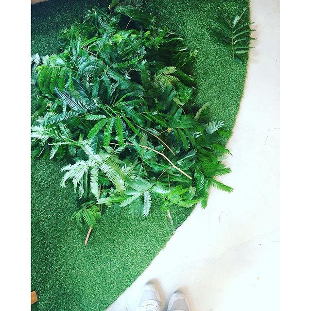#ばっさりカット #メデルガーデン のお店ができてからすくすくと成長をしてくれている、#エバーフレッシュの剪定しました。エバーフレッシュをリフレッシュエバーフレッシュは年がら年中というくらい新芽を出して葉がよく茂るので、マメな剪定が美しく保つ秘訣です。樹形がよくわかるくらいまでばっさりバッサリ。#観葉植物#インテリアグリーン#indoorgreen#光葉園