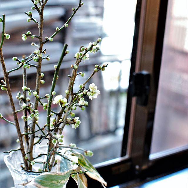 #梅の花#梅の蕾#年末に剪定した梅の木の枝花瓶にさしておくと年が明けてひとつ、ふたつみっつと、毎日ひと粒ずつ咲き始めました。そんな姿がなんとも愛おしくて愛らしい梅の花。小粒の梅の花を眺めながらのお皿洗い。そういえば、長浜市の盆梅展、もう始まっているみたいです。今年もあの立派な梅の木の盆栽、見に行きたいなぁ。#お正月の景色 #暮らしにみどりを#季節の花#台所の窓辺に#メデルガーデン#