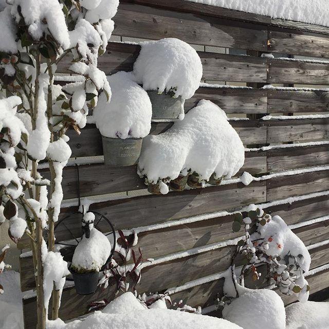 地元東近江市も雪のたくさん積もっています。久しぶりにたくさん降ったねー️とおっしゃいます。私はここへ来て五年目ですが、こんな大雪は初めてです。#メデルガーデン #光葉園 #大寒波