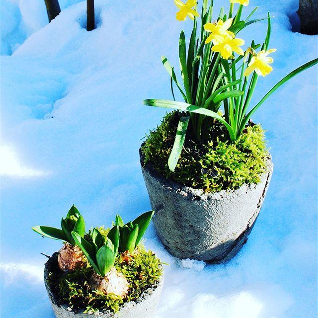 #球根を楽しむ季節いつか作ってみたいと企んでいたこの鉢は#魔法の鉢といいます。新聞紙