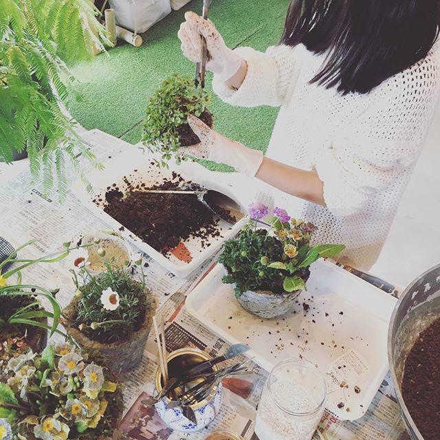 #春の寄せ植え手作りした、#魔法の鉢 へ春をぎゅっと詰め込み中。おひとりさまワークショップさせてもらいました。朝から雪がちらつく️東近江市ですが、寄せ植えが完成した頃には春の日差しが春の天使の仕業ね#スカビオサ#クローバー#プリムラジュリアン#ローダンセマム#メデルガーデン ワークショップ#こうようえん