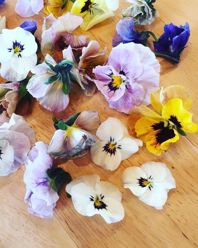 #花摘み寒い、朝から雪がちらつく東近江市です。花摘みするにもダウンジャケット着てじゃないと寒すぎます。#ビオラ#春の足音#こうようえん #光葉園#メデルガーデン
