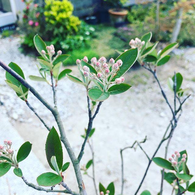#春の花木#アロニア春になると人も植物も忙しくなる季節。あっという間に四月が終わりそうであたふたしております。お店の玄関先で、もうすぐアロニアの花が咲きそうです。#蕾#新芽#春の楽しみ#メデルガーデン #こうようえん #kouyouen