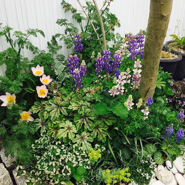 #春の楽しみ アオダモの足元がとってもにぎやかになりました。もうすぐ白いレースが可愛いオルラヤが咲きそうです。#Tulipa#Heuchera#Trifolium#Lupinus polyphyllus# Lobularia maritima#Viola labradorica#Euphorbiamyrsinites#Orlaya grandiflora#Saxifraga stolonifera#メデルガーデン #kouyouen #こうようえん