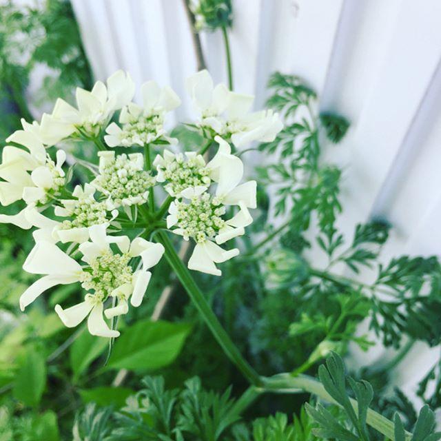 #オルラヤいつかないつかなと毎日楽しみにしていました。オルラヤ、本日、ひとつ咲きました。つぼみの時の緑とオフホワイトのストライプなところも胸がキュンといたしますときめきの五月です。#こうようえん #メデルガーデン