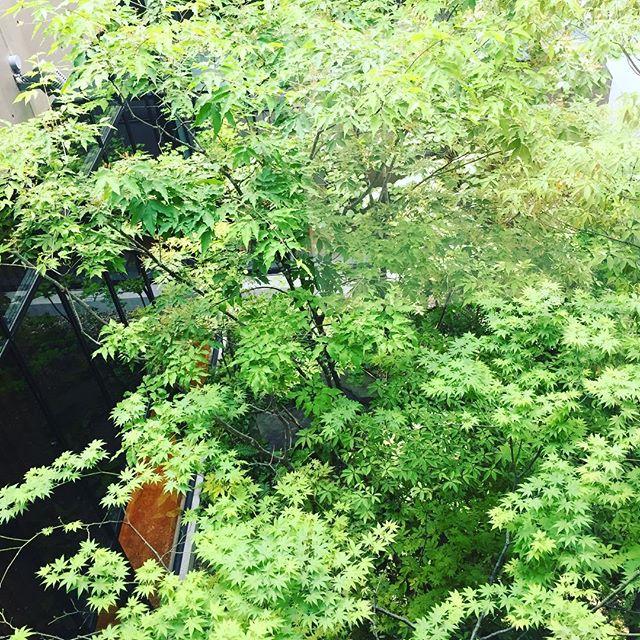 ヤマモミジ、アオダモ、アズキナシ、ハイノキ。ホテルの中心にある中庭。#新緑 #京都#雑木#雑木の庭