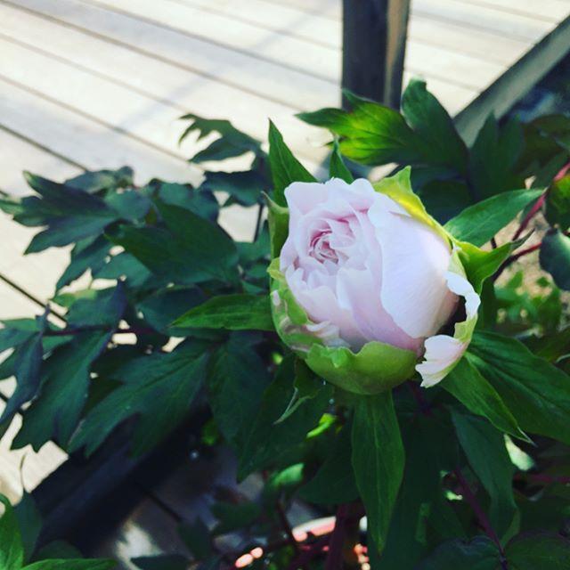 #牡丹とても豪華で大人らしい香りする牡丹の花が咲きました。立てば芍薬座れば牡丹歩く姿は百合の花。女性らしい立ち居振る舞いを花に例えたことわざ。花が好きでしつけに厳しい母によく唱えられたことを思い出します。#メデルガーデン #こうようえん #ボタンの花#五月に咲く花