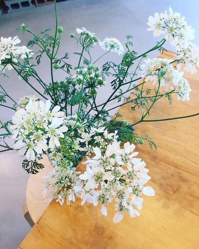 #オルラヤデスクワークの傍らに居てくれる爽やかな方、オルラヤさん。花壇から拝借して、花瓶に生けました。#メデルガーデン #アフターガーデニング #こうようえん #光葉園 #五月の花